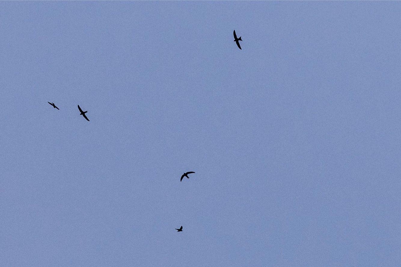潘石屹发起北京雨燕保护计划 亲手做木质燕巢