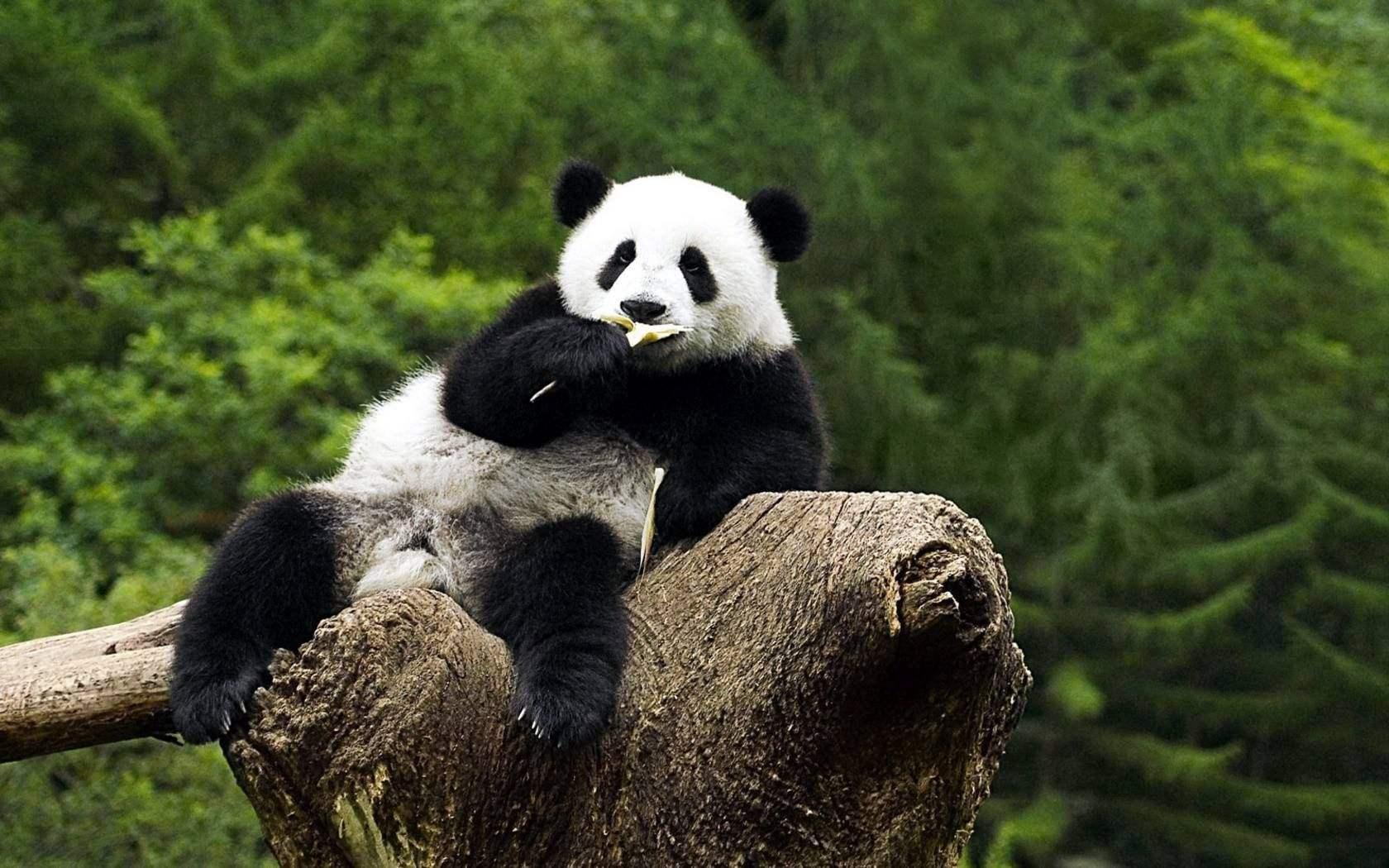 动物园熊猫被砸,受惊吓的国宝