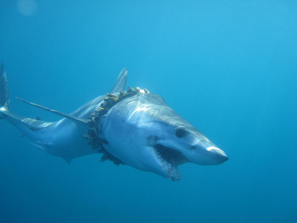 过千条鲨鱼被海洋垃圾缠绕