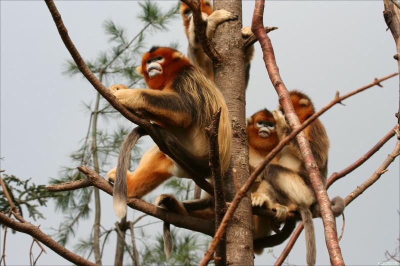"""金丝猴保护与研究的""""神农架样本"""""""