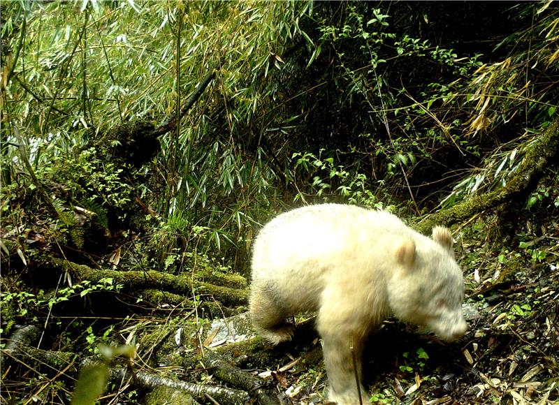 四川卧龙拍到首张白色大熊猫照片