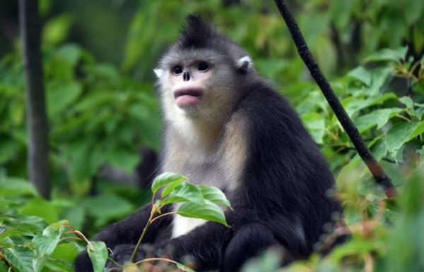 守护成长,滇金丝猴的全境保护网络