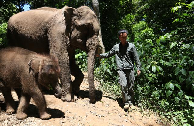 云南大象繁育中心救助多头野象